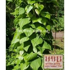 Диоскорея кавказская саженцы (Dioscorea caucasica Lypaky) нет в наличии