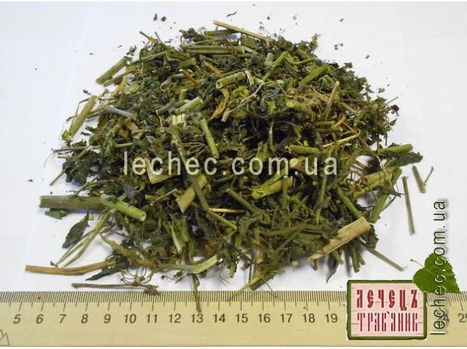 трава паслен фото