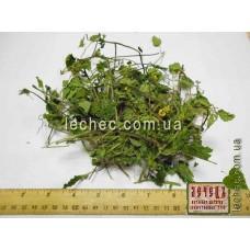 Зеленчук желтый трава  (Galeobdolon luteum Huds)