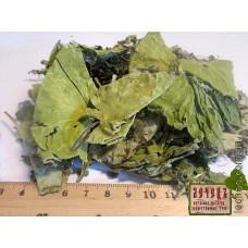 Мать-и-мачеха лист (Tussilago farfara)