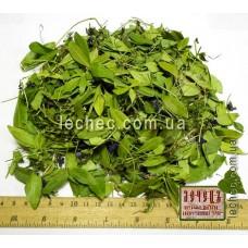 Барвинок трава с цветком (Vinca herbacea)