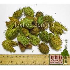 Дурман семя  (Datura) в коробочке