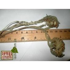 Медуница узколистная трава (Pulmonaria angustifolia)
