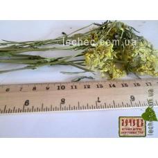 Желтушник серый трава (Erysimum canescens)