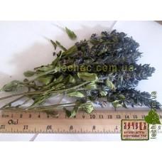 Живучка Лаксмана трава с цветом ( Ajuga )