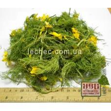 Горицвет весенний (адонис) цвет с травой (Adonis vernalis)