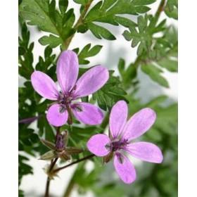 Аистник обыкновенный трава (Erodium cicutarium (L.) L'Herit.)