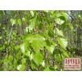 Береза ветки (Betula)