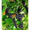 Черноплодная рябина, арония лист (Cynoglossum officinale)