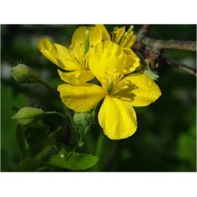 Чистотел большой трава (Chelidonium majus)