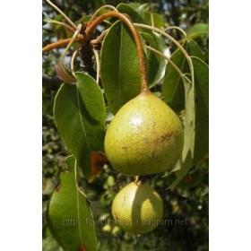 Груша обыкновенная (дикая) лист (Pyrus communis)