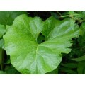 Лопуха лист (Arctium)