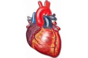 Сердце, сосуды