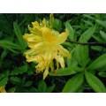 Рододендрон желтый, азалия понтийская цвет с травой (Rhododendron luteum Sweet. (Azalea pontica L., Rododendron Havum Т. Don.).