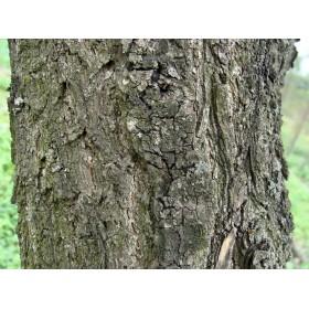 Абрикос кора (Prunus armeniaca)