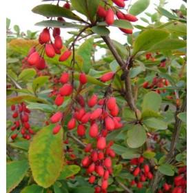 Барбарис лист с цветом (Berberia color folium)