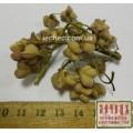 Бересклет европейский плоды (Euonymus europaea)