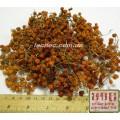 Рябина обыкновенная плод  (Sorbus aucuparia)