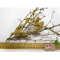 Барбарис обыкновенный побеги (Berberis vulgaris)