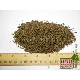 Береза почки (Betula)