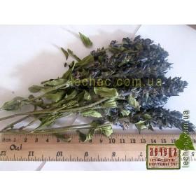 Живучка ползучая трава (Ajuga reptans)