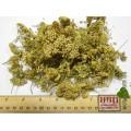 Тысячелистник обыкновенный цвет (Achillea millefolium)