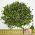 Хохлатка полая или клубневая цвет с травой (Corydalis cava)