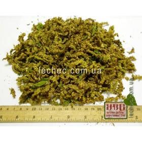 Граб обыкновенный цвет мужской (Carpinus betulus)