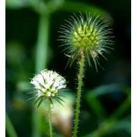 Ворсянка щетинистая трава (Dipsacus strigosus Willd. ex Roem. & Schult.)
